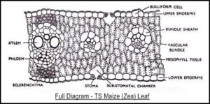 AS Level Biology (9700) P3 Guide - Diagrams - Stude Mate