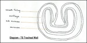 as level biology (9700) p3 guide – diagrams – stude mate tracheal wall diagram #9
